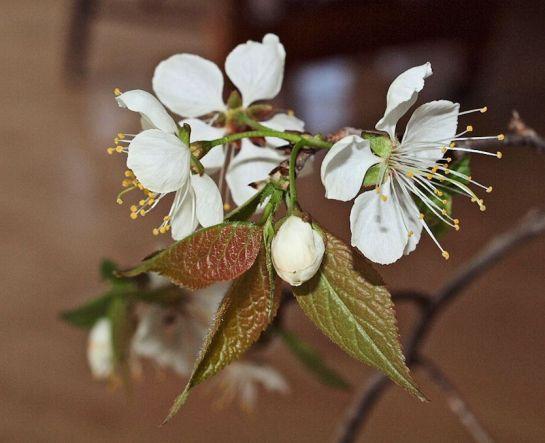 Fleur du merisier.
