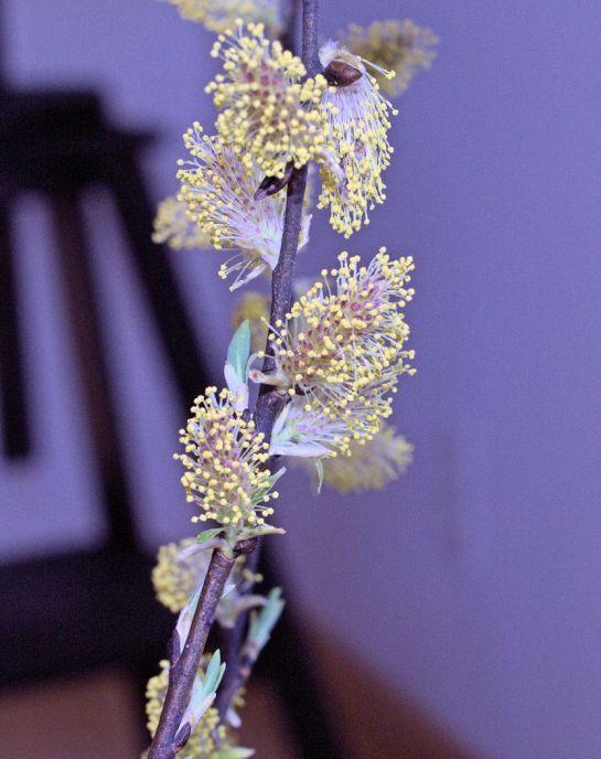 Saule-fleur mâle.