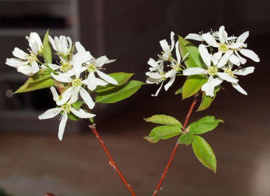 Fleurs d'Amélanchier.