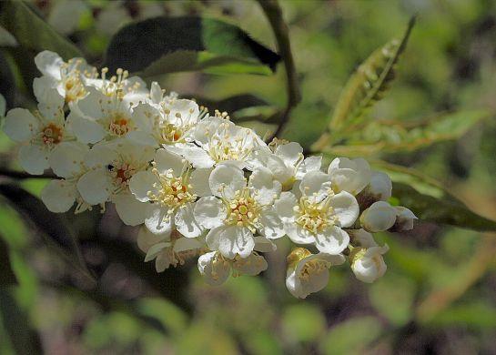 Fleur du cerisier de Virginie.