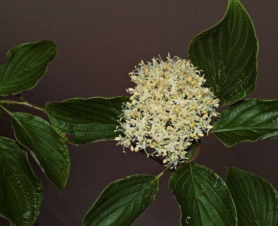 Fleur Cornouiller Stolonifère.