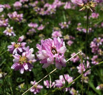 Fleurs des champs.