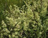 Fleurs des champs microscopique.