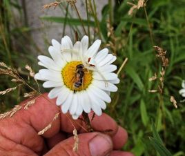 Araignée-Marguerite blanche.