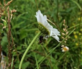 Araignée-Marguerite-Blanche.