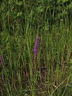 P7194699 Fausse Véronique de Virginie