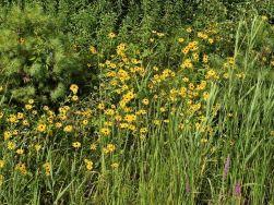 Marguerite jaune.