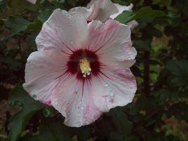 Hibiscus de Syrie