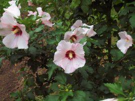 Hibiscus de Syrie.