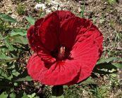 Fleur d'Hibiscus rouge.