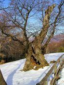 Châtaigner, Castagno, Chestnut tree.