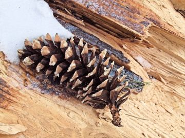 Un cône partiellement mangé par un écureuil roux.