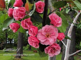 Fleurs du pommetier Brandywine.
